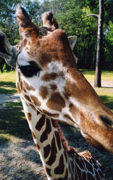 Zoo_giraffe
