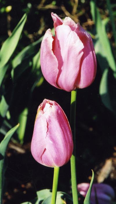 Zoo_tulips